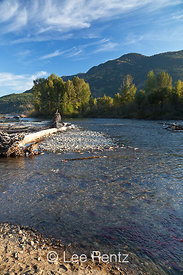 Sockeye Salmon Migration along the Adams River