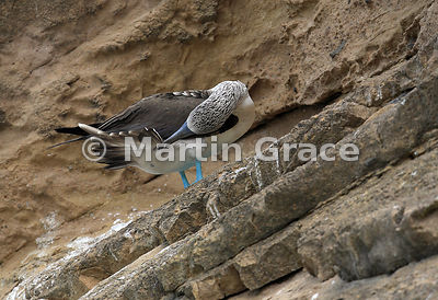 Blue-Footed Booby (Sula nebouxii excisa) preening its tail feathers on the stratified volcanic ash cliffs of Punta Pitt, San ...