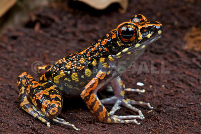 Spotted stream frog (Hylarana picturata)