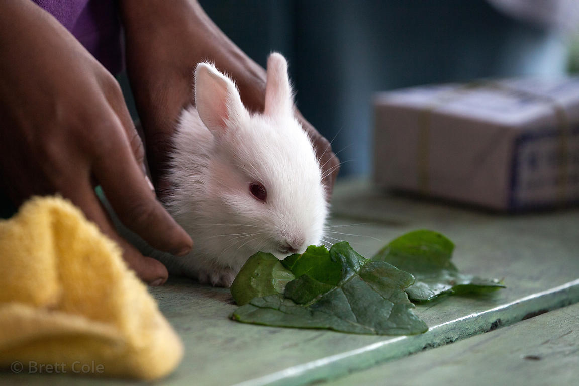 A pet rabbit eats greens at a market in Shyambazar, Kolkata, India.