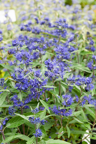 Caryopteris x clandonensis 'First Choice', bleu
