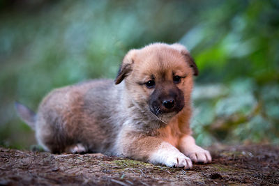 Beautiful stray dog puppy living in the forest near Hidimba Temple, Manali, India
