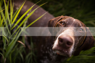 headshot of brown pointer dog staring upward from grasses