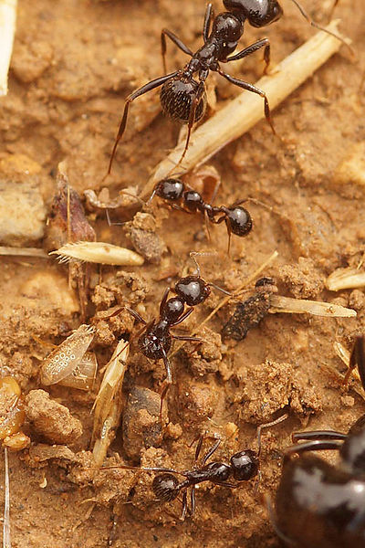 Formicidae - Mieren - Ants