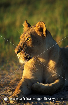 Lion, Panthera leo, Hwange National Park, Zimbabwe