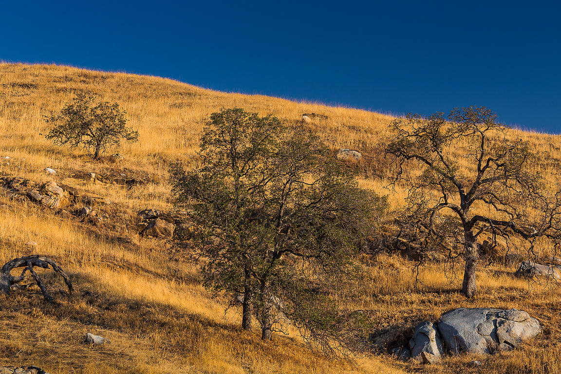 Golden Grasslands and Spreading Oak Trees in Morning Light in California