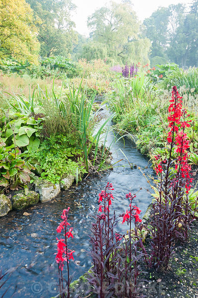 Vivid red Lobelia cardinalis 'Queen Victoria' beside a stream running through the bog garden, surrounded by hostas, astilbes,...