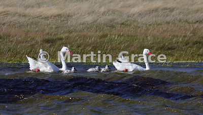 Pair of Coscoroba Swans with three cygnets (Coscoroba coscoroba), near Puerto Natales, Patagonia, Region XII Magallanes y Ant...