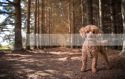 windblown little poodle dog standing in tunnel of pine trees