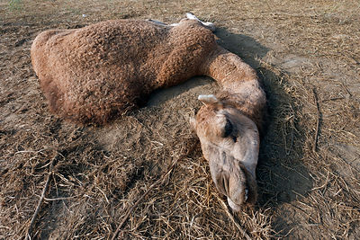 A camel lies dying at the 2010 Pushkar Camel Fair, Rajasthan, India