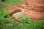 Egyptian Goose (Alopochen aegyptiacus), Tsavo West National Park, Kenya