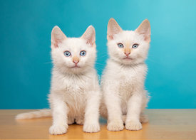 Two white kittens with blue eyes sitting next to each other against blue background