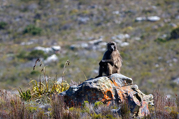 A chacma baboon from the Kanonkop troop sits pensively on a rock in fynbos, Smitswinkel Flats, Cape Peninsula, South Africa