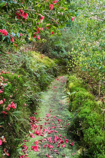 Mossy path overhung by camellia starting to drop its petals. Greencombe Garden, Porlock, Somerset, UK