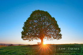 Lime tree and sun (lat. tilia) - Europe, Germany, Bavaria, Upper Bavaria, Miesbach, Irschenberg - digital