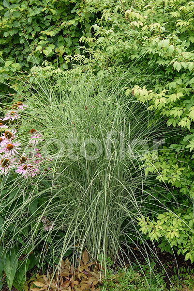 Miscanthus sinensis 'Morning Light', eulalie, bicolore