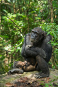 Chimpanzee with baby, Pan troglodytes, Mahale Mountains National Park, Tanzania