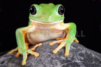 Mexican leaf frog (Pachymedusa dacnicolor)