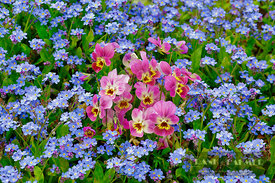 Violet (viola) and forget-me-nots - Europe, Germany, Bavaria, Upper Bavaria, Munich - digital