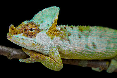 Carpenter's chameleon (Kinyongia carpenteri)