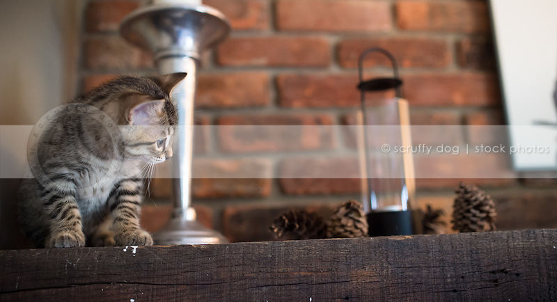 curious small tabby kitten waiting sitting on wood mantle