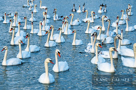Mute swan (cygnus olor)  - Europe, Germany, Bavaria, Upper Bavaria, Munich - scan