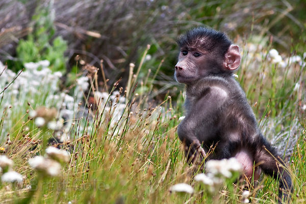 Baby baboon from the Plateau Road troop foraging in beautiful fynbos vegetation in Smitswinkel Flats, Cape Peninsula, South A...