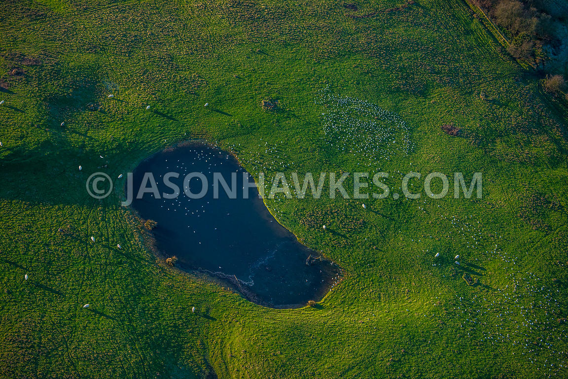 Aerial view of Surrey, field with sheep with a pond with birds.