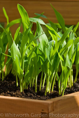 Sweetcorn seedlings growing in a tray on a greenhouse shelf. © Rob Whitworth