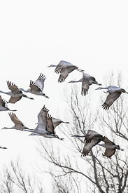 Sandhill Cranes in Flight during the Platte River Migration Stop in Nebraska