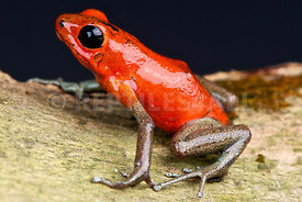 Oophaga pumilio, Gold legged strawberry dart frog, Panama