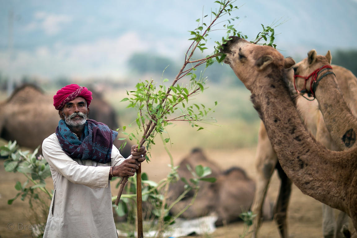 A farmer feeds his camel at the Pushkar Camel Fair, Pushkar, Rajasthan, India