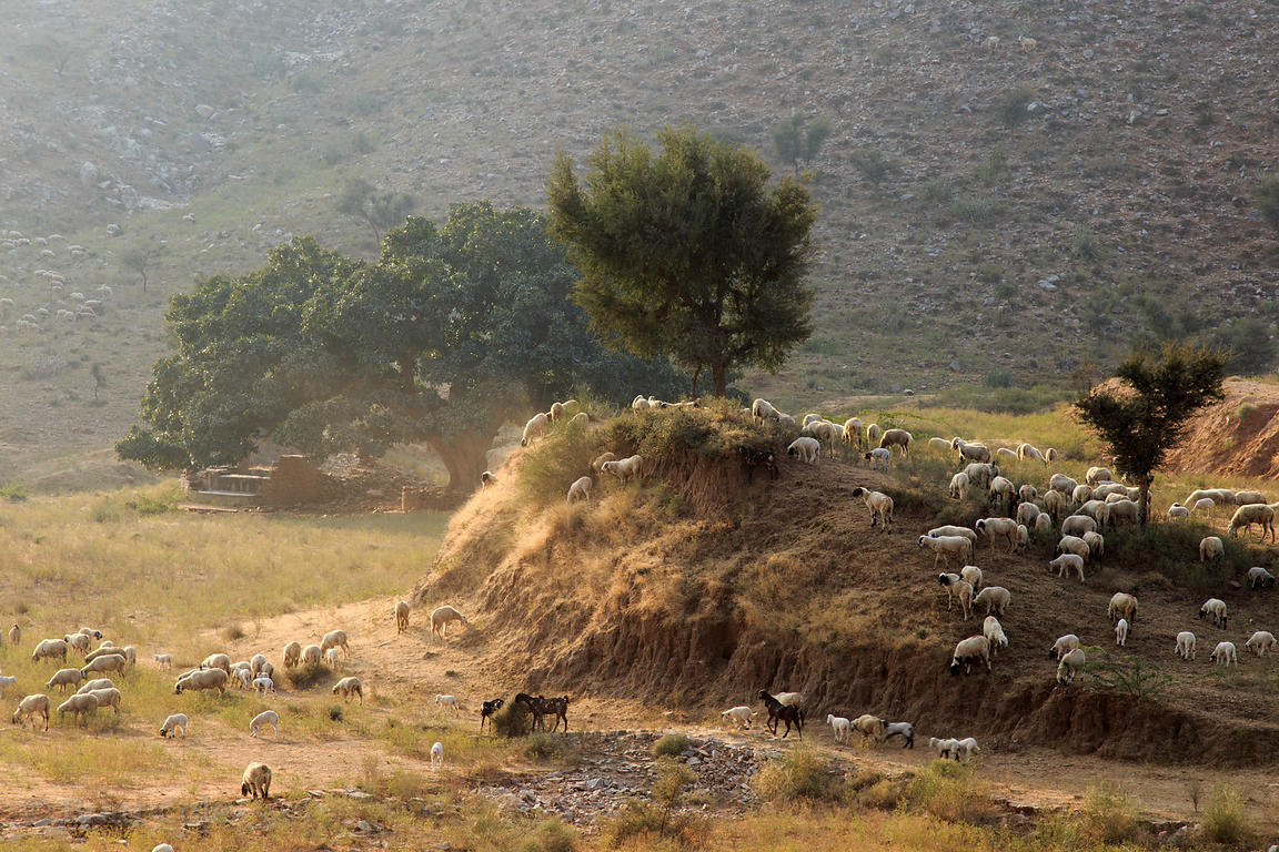Sheep herders graze their animals in the desert near Kharekhari village, Rajasthan, India, In the distance is a massive ancie...