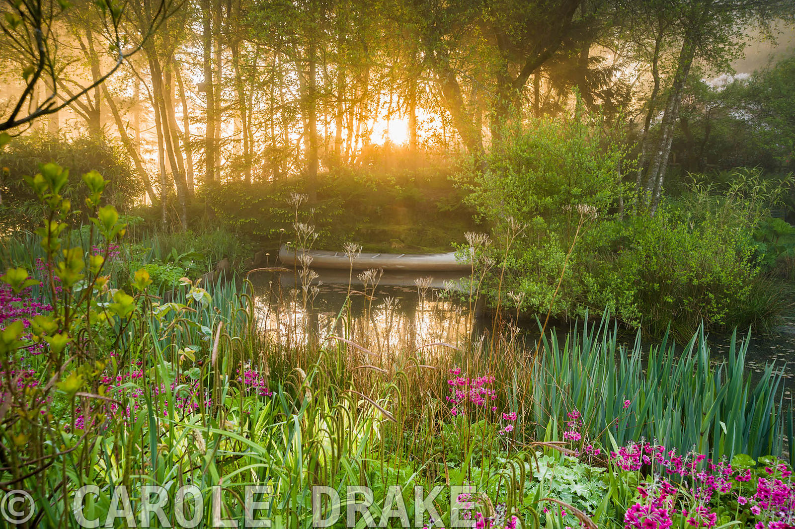 Dawn sunlight breaks through mist and trees above the pond with moored canoe, surrounded by magenta Primula pulverulenta, fer...