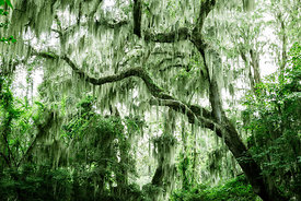 Spanish moss on trees