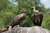 White-backed vultures, gyps africanus), feeding from an elephant carcass, Kruger National Park, South Africa