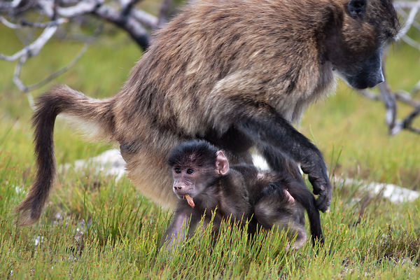 A baby baboons from the Plateau Road troop foraging in fynbos vegetation in Smitswinkel Flats, Cape Peninsula, South Africa