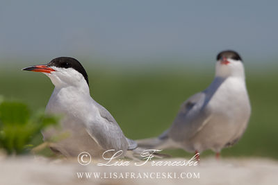 Adult Common Terns