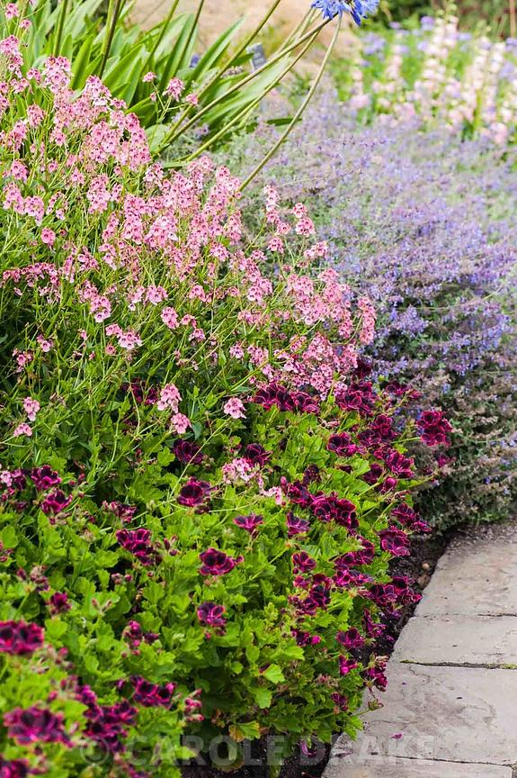 Border including Pelargonium 'Lord Bute', Diascia personata, agapanthus and catmint.  RHS Garden Wiisley, Woking, Surrey, UK