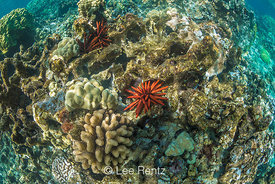 Slate Pencil Urchin and Coral in Kapoho Tide Pools off Hawaii