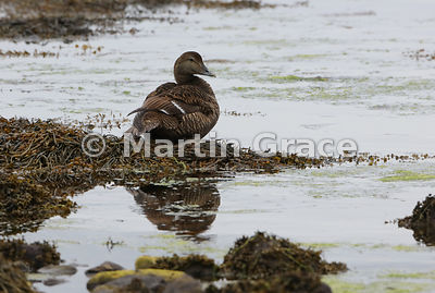 Common Eider (Somateria mollissima), Tangwick, Northmavine, Shetland: crop of previous image