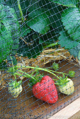 Strawberries growing under netting in raised wooden vegetable bed. © Jo Whitworth