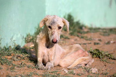 An emaciated dog recovering at the Tree of Life for Animals rescue center (tolfa.org.uk) near Pushkar, Rajasthan, India