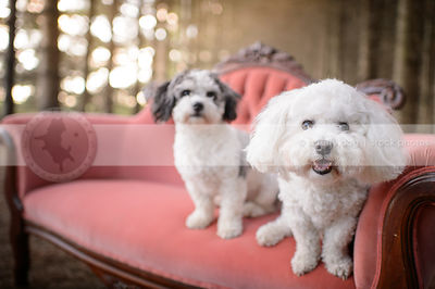 happy groomed bichon frise with friend on settee outdoors