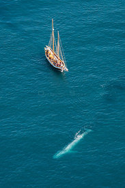 Blue Whale (Balaenoptera musculus) Aerial - with whale watching boat - Endangered Species Skjalfandi Bay, northern Iceland