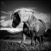 Wild horse in the grass, Iceland 2015 © Laurent Baheux