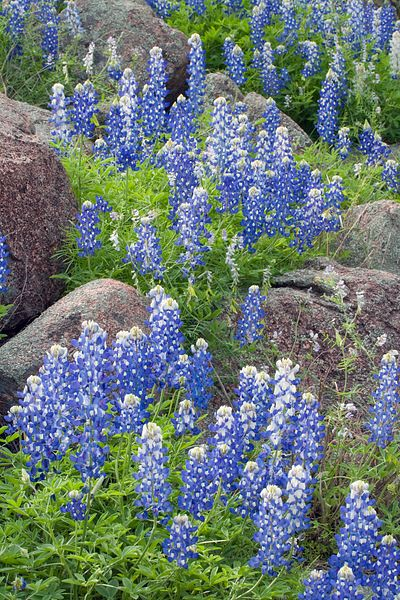 Bluebonnets and Rock