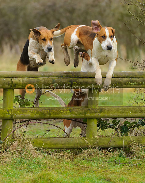 Hounds jumping a hunt jump - The Belvoir Hunt at Harby 28/1