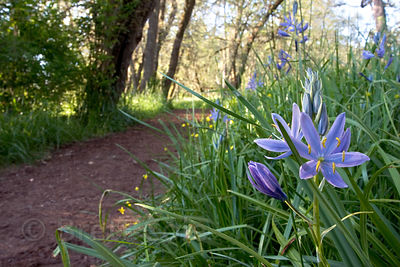Blue Camas (Camassia quamash) in the Willamette Valley, Oregon, an important plant to indigenous inhabitants (Kalapuya)