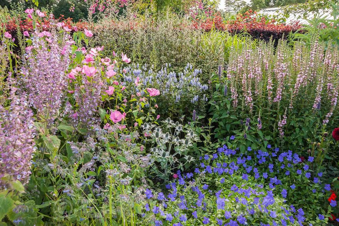 Silver, pink and blue borders featuring Savia turkestanica, geraniums, eryngiums, mallows and loosestrife. Floors Castle, Kel...